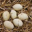 Höckerschwan_Nest